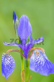 Ostsibirische Schwertlilie