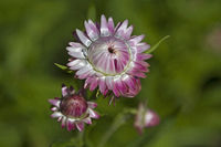 Blüte einer Strohblume