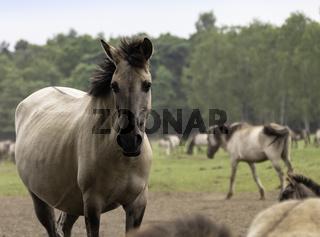 Aufmerksam -  wild lebende Pferde im Merfelder Bruch, Dülmen, Nordrhein-Westfalen, Juni,