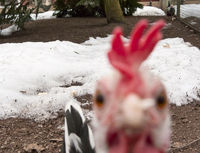 Blurred hen