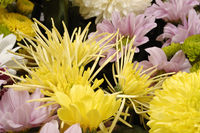 Chrysanthemums, often called 'mums'.