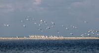 A flock of migrating pink pelicans