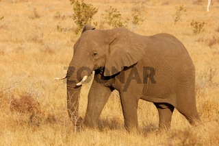 African Elephant in Africa