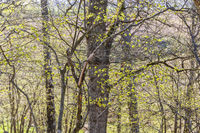 Newly opened leaves in a deciduous forest in spring