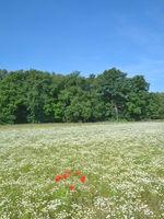 Feld mit echter Kamille.jpg