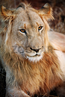 Junges Löwenmännchen, Südafrika, young male lion, South Africa