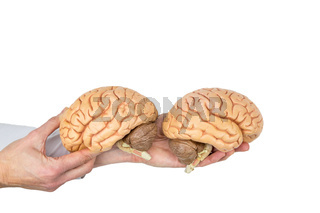 Hands holding model human brain on white background
