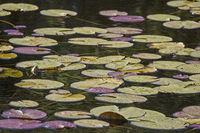 Seerosenblätter auf dem Wasser