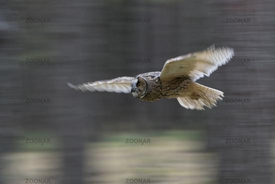 mitgezogen im Flug... Bengalenuhu *Bubo bengalensis*