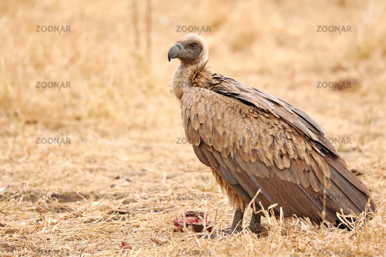 Weißrückengeier, white-backed vultures, gyps africanus, Südafrika, South Africa