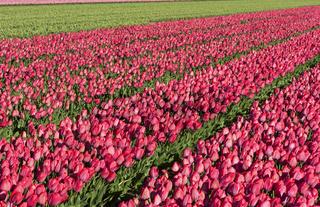 Blühendes Tulpenenfeld roterTulpen in der Blumenzwiebelregion Bollenstreek, Bollenstreek, Niederland