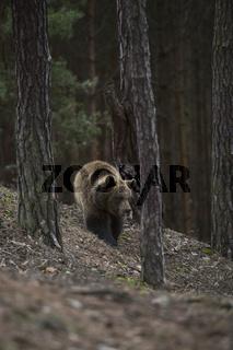 im Bergwald... Europäischer Braunbär *Ursus arctos* streift durch einen dunklen Wald