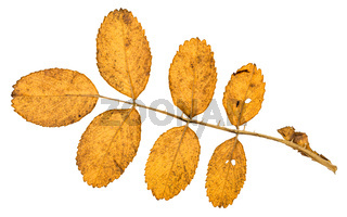 back side of twig with yellow leaves of dog rose