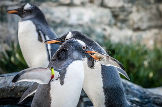 Penguins collecting little pebbles