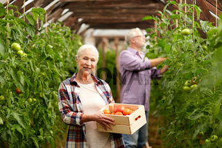 old woman picking tomatoes up at farm greenhouse