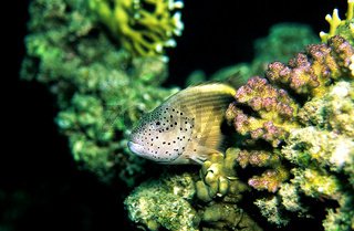 Gestreifter Korallenwächter