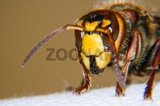 European hornet portrait