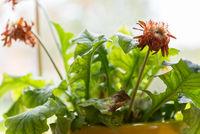 orange blühende Gerbera verblüht - Nahaufname welkende Zimmerpflanze