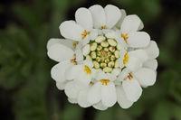 Immergruene Schleifenblume (Iberis sempervirens)
