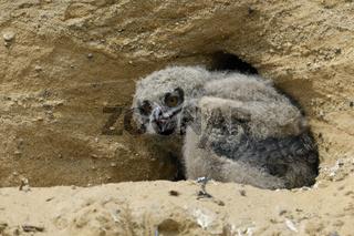 überraschend selbstständig... Europäischer Uhu *Bubo bubo*, Jungvogel frisst bereits selbstständig