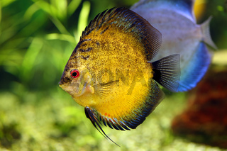 discus fish in the aquarium