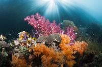Korallen im flachen Mangrovenbereich, Indonesien
