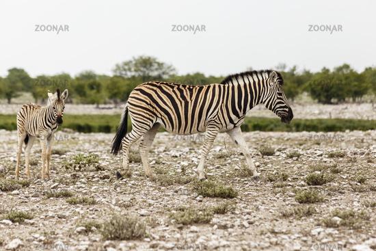 Zebra mit Fohlen, Etosha Nationalpark, Zebra with foal, Etosha National Park