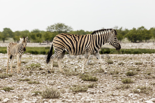 Zebra mit Fohlen, Etosha Nationalpark, Zebra with foal, Etosha National Park