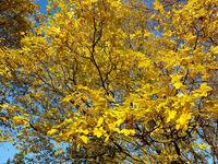 Herbstlich gefärbte Blätter des Feld-Ahorns, Acer campestre