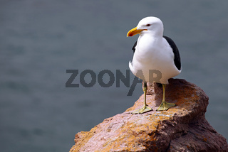 Dominikanermöwe, Stony Point, Südafrika, Kelp Gull, South Africa