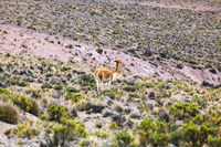 vicuna in the highlands of Peru
