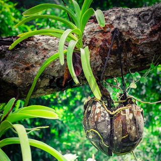 Tropical orchid growing in coconut shell pot