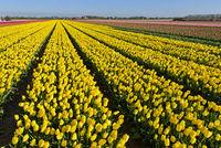 Feld mit gelben Tulpen der Sorte Yellow Purissima, Bollenstreek, Niederlande