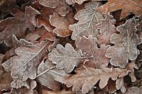 Fallen frosty leaves