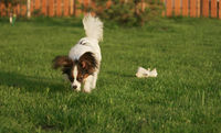 Beautiful young male dog Continental Toy Spaniel Papillon on green lawn