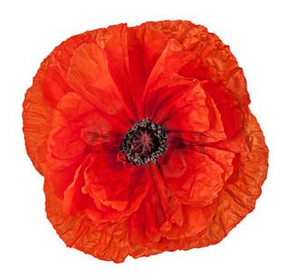 Closeup red poppy flower