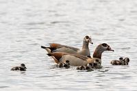 Nilgans Familie auf einem See