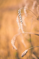Organic golden spring cereal wheat grains