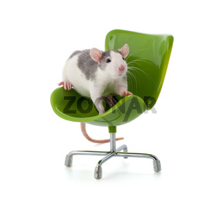Nice little rat sitting on a miniature office chair.