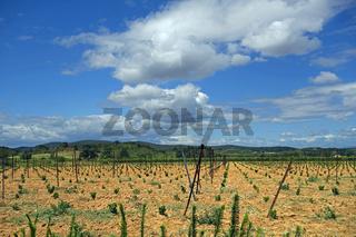 Junge Weinreben in Suedfrankreich