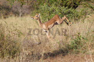 a dancing impala in the Kruger National Park South Africa