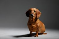 adorable small dog Dachshund