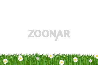 Rasen Gänsebluemchen