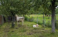Kuh im Garten