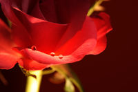 Rose und Tau