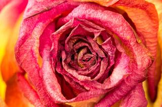 Beautiful rose flower close-up
