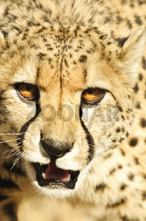 Aggression display cheetah (Acinonyx jubatus)