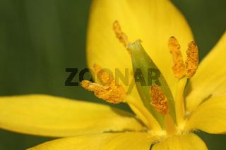 Blüte der Wilden Tulpe