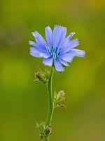 Nahaufnahme einer Blüte der Gemeinen Wegwarte