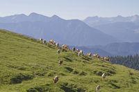 Kuhherde auf einer Bergwuese